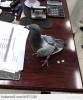 uyuşturucu baronu güvercin