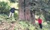 zonguldak taki dünyanın en yaşlı porsuk ağacı