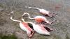 flamingoları öldüren orospu çocukları