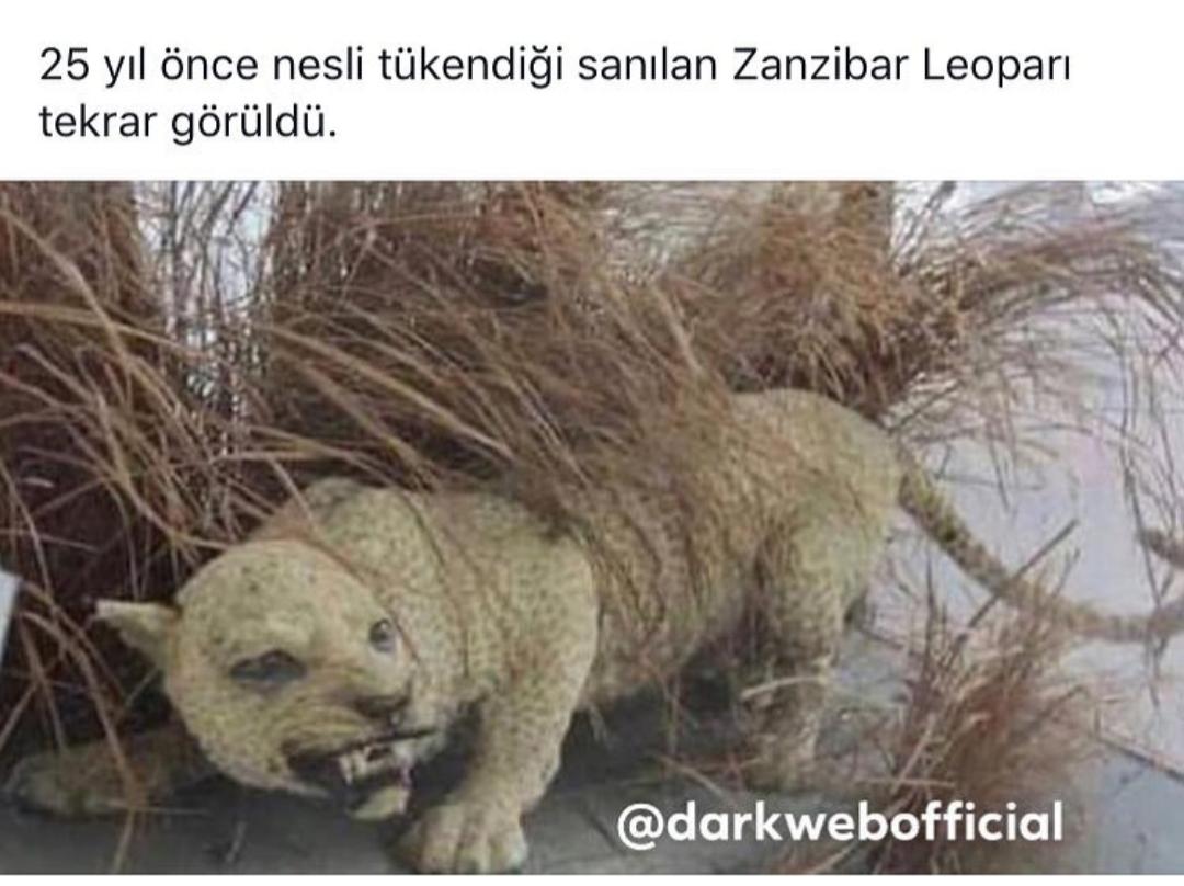 zanzibar leoparı