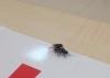sineklerin cinsel ilişkiye girmesi