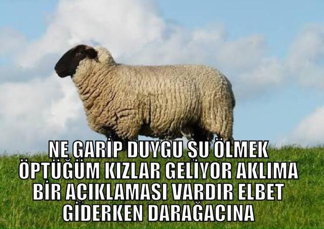 koyunların şu an ne düşündüğü