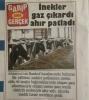kaçan inek haberleri