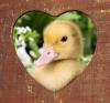 yavru ördeklerin tatlı olması