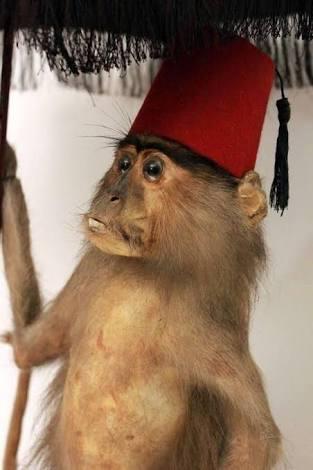 fes giymiş bir maymun