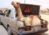 bagaja deve koymak
