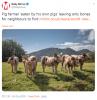 beslediği domuzlar tarafından yenen çiftçi