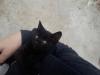 siyah kedi