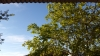 ceviz ağacı