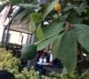 limon ağacı yetiştirmek