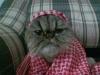 arap kedisi