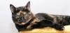 siyah kediyle sarman kedi ciftlesirse ne olur