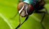 baldırsokan sineği