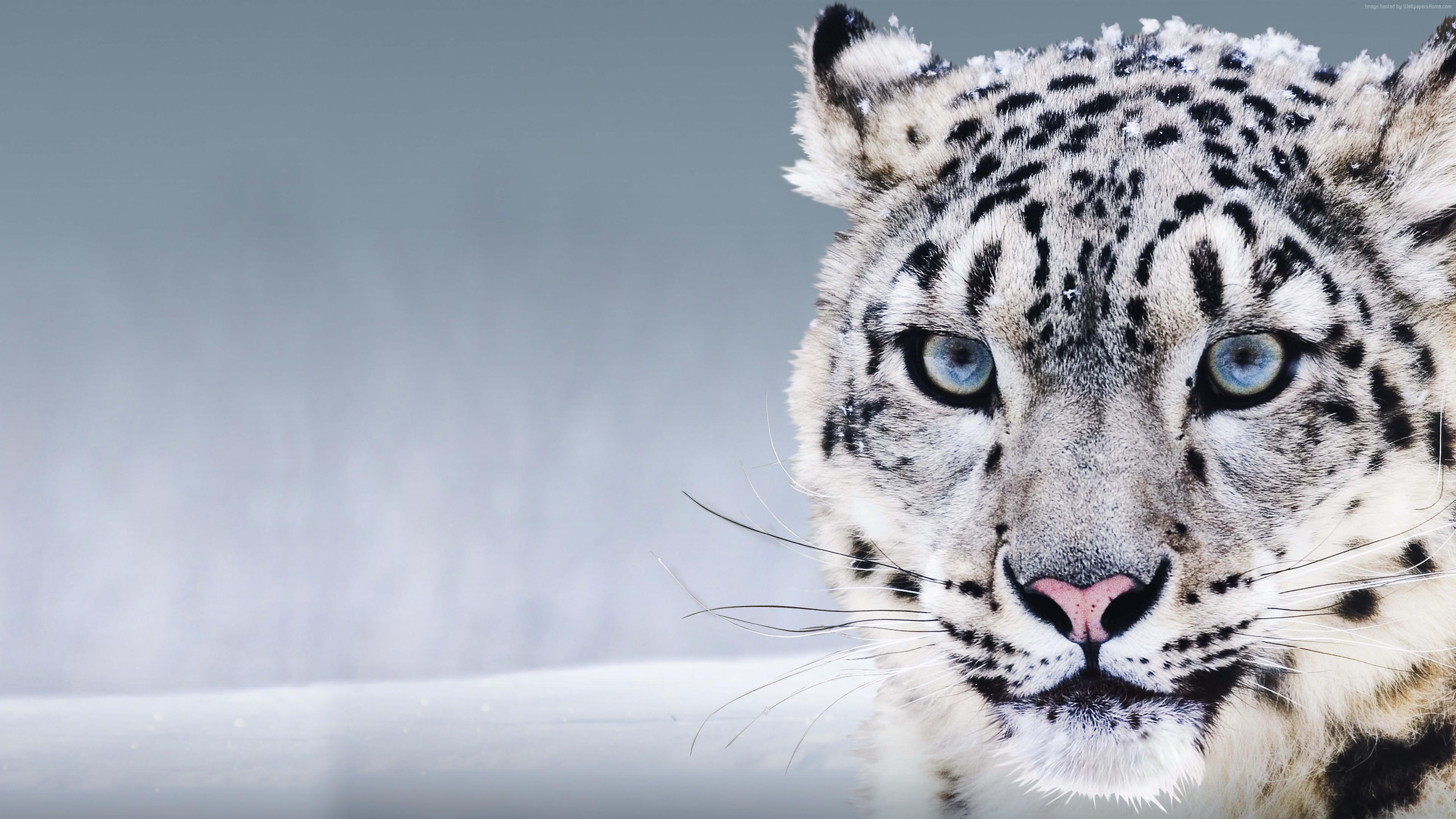 животные снежный леопард скачать