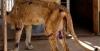 bir deri bir kemik kalan aslanlar