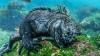 deniz iguanası