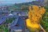 1400 yıllık zamana meydan okuyan ginkgo ağacı