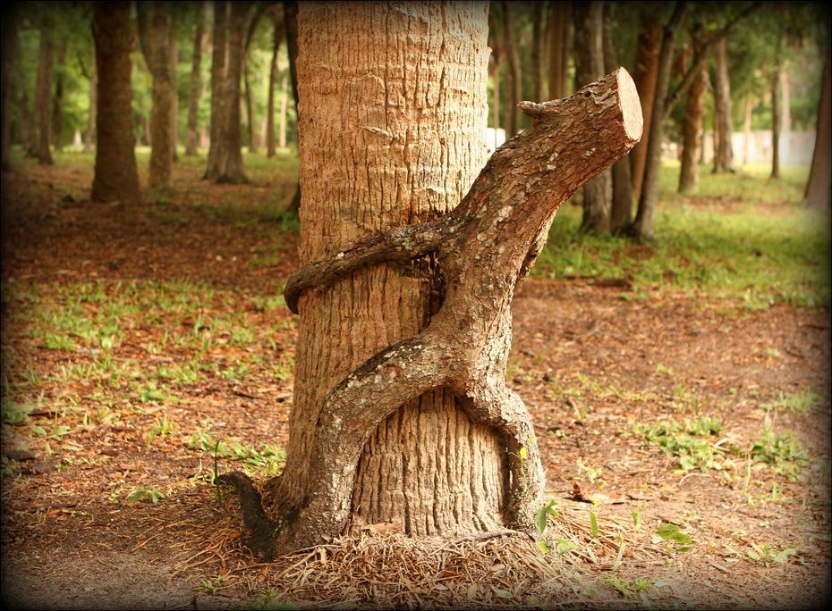 Any idea why we called it the penis tree