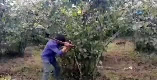 fındık ağacını kesen karadenizli çomar